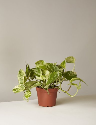 the-sill_golden-pothos-plant_6_1200x.progressive.jpg