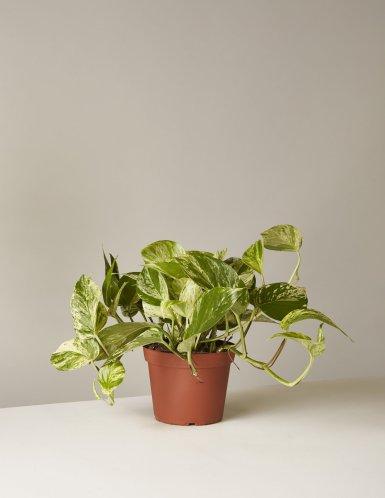 the-sill_golden-pothos-plant_6_1200x.progressive.jpg