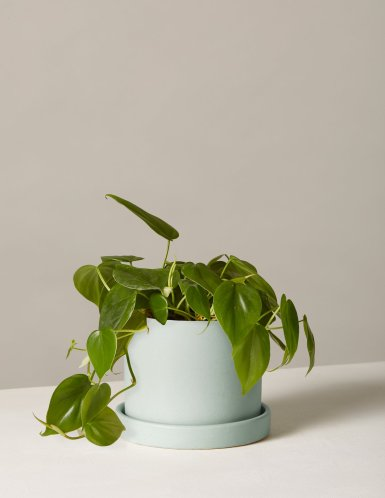 the-sill_philodendron-plant-green_hyde_mint_5_1500x.progressive.jpg
